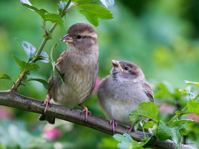 שתי ציפורים